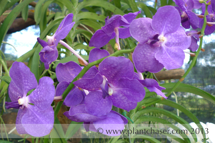 Vanda Golamco's Blue Magic