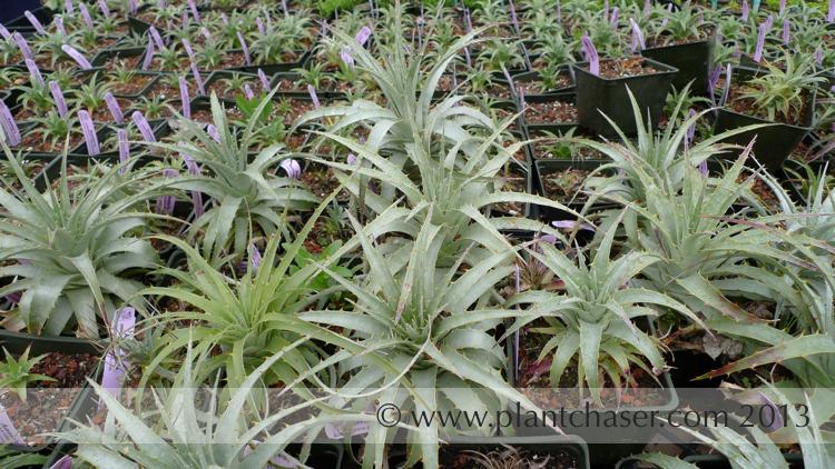 Puya chilensis.