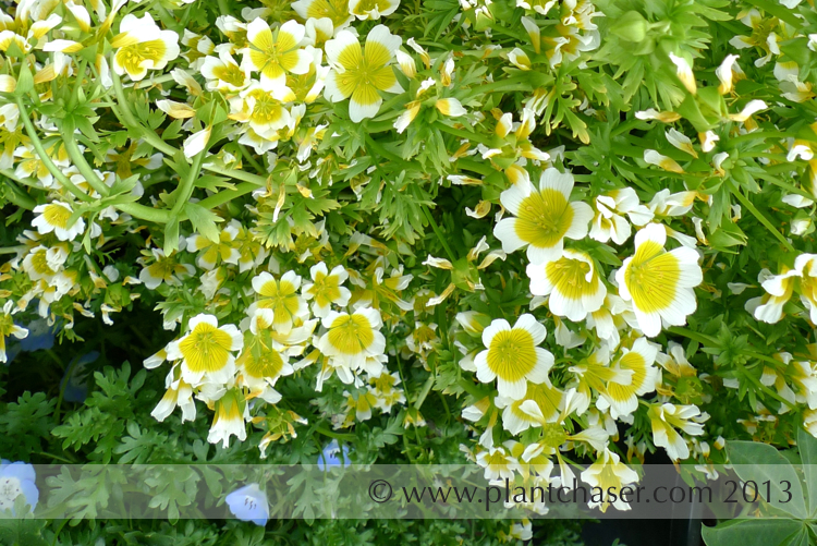 Limnanthes douglasii 'Meadow Foam'