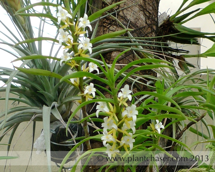 Eria-orchid-04.jpg