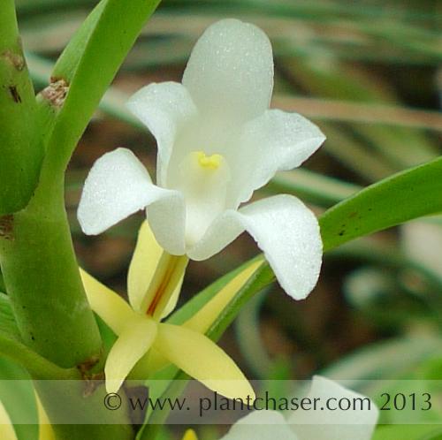 Eria-orchid-02.jpg