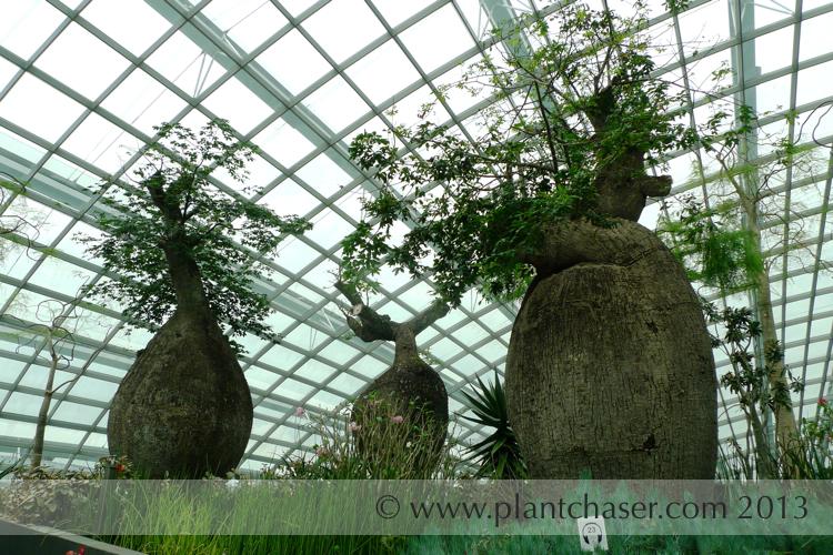 Adansonia-digitata-african-baobab.jpg