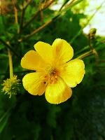 Creeping Buttercup from Notes of Nature
