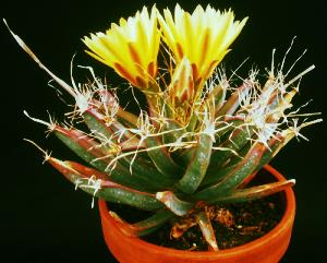 Leuchtenbergia principis from Plants are the Strangest People.