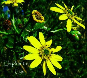 Chrysanthemoides monilifera from Elephant's Eye on False Bay