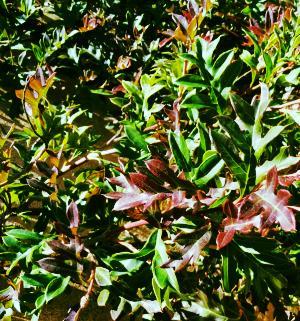Grevillea xgaudichaudii from Danger Garden