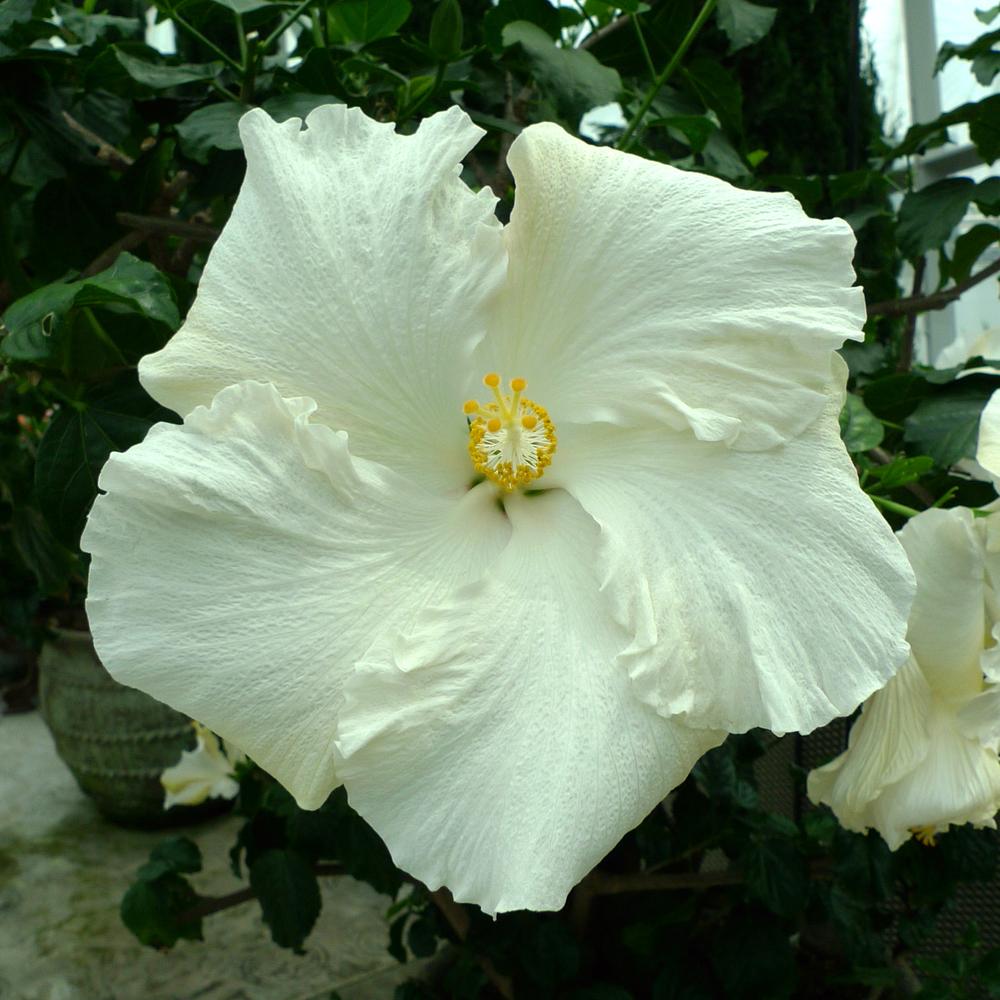 hibiscus-02.jpg
