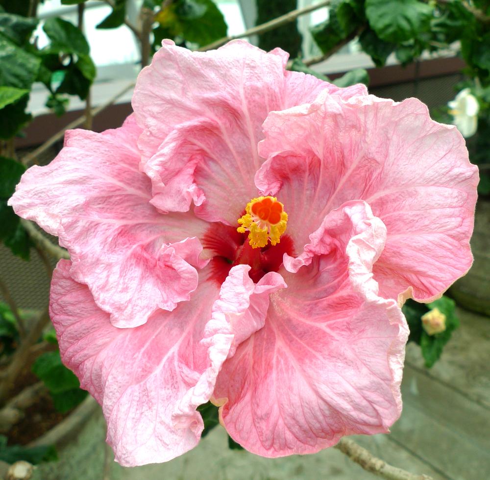 hibiscus-04.jpg