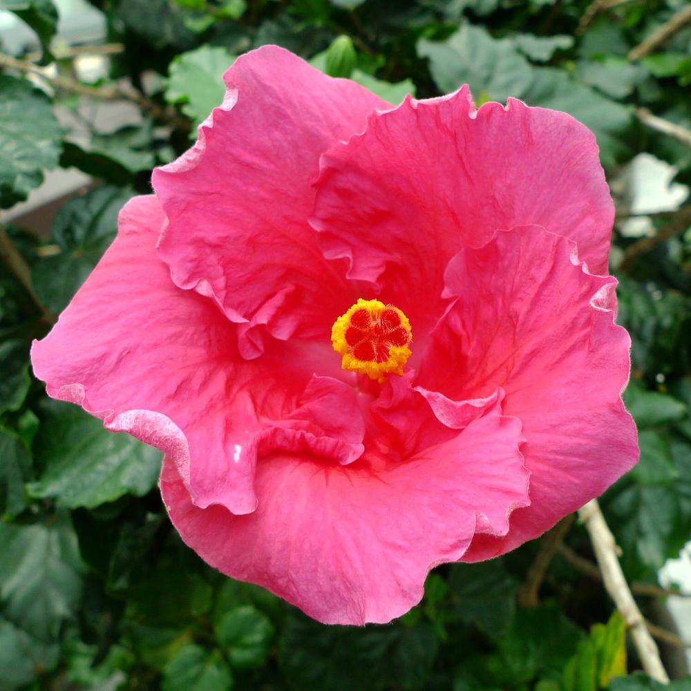 hibiscus-05.jpg