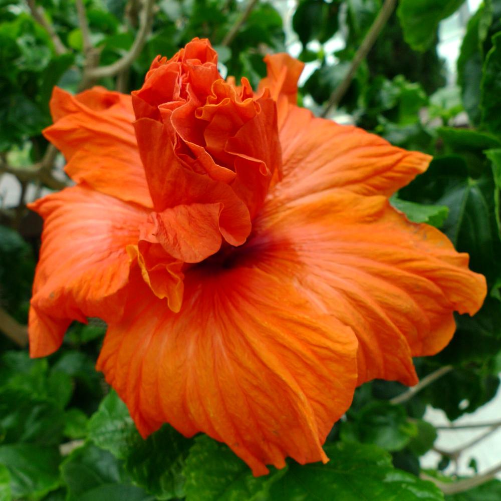 hibiscus-06.jpg