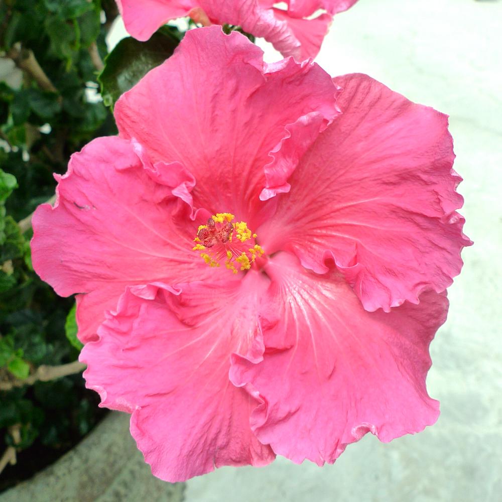 hibiscus-07.jpg