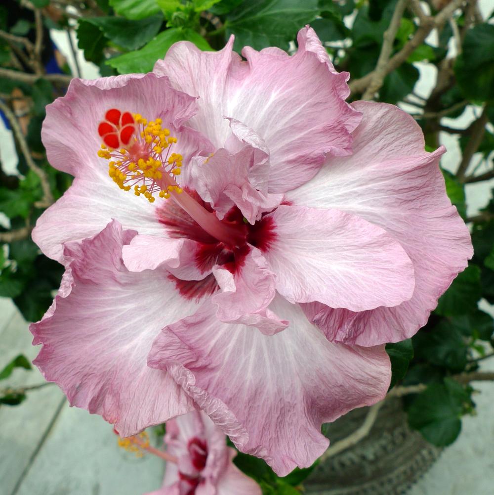 hibiscus-08.jpg