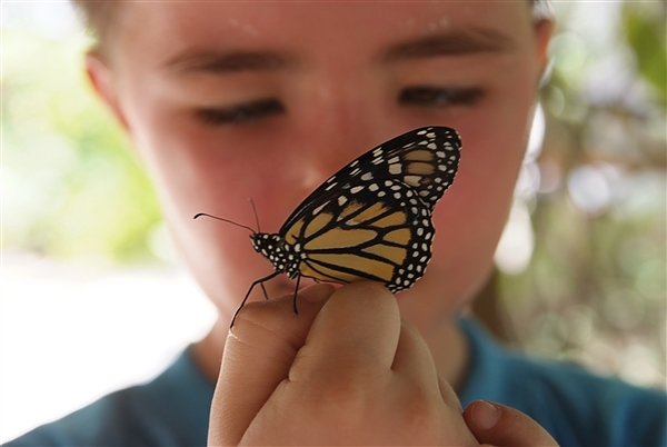Butterflies are part of the class of insects in the order Lepidoptera. Adult butterflies have large, often brightly coloured wings, and conspicuous, fluttering flight. This youth was at a butterfly farm being curious about this butterfly.