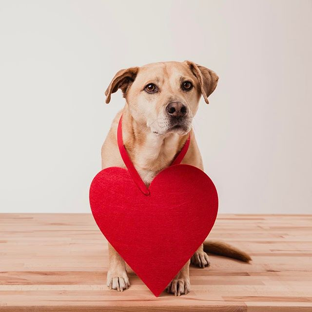 We you be my Valentine?!! ❤🐶🇺🇸 . #thepeoplespup #puppylife #mutt #rescue #seniordog #cuddle #dogoftheday #puppy #vsco #vscocam #cuddlebuddy #dailyfluff #weeklyfluff #petsofinstagram #dogs_of_instagram #dogsofinstagram #pawcelebrity #merrychristmasyafilthyanimal #camping #valentines #model #professionalmodel #dogmodel