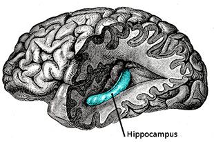 The Human Hippocampus
