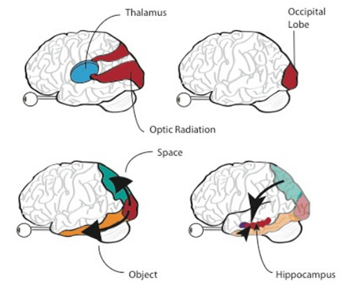 Memories photographs and the human brain joshua sariana how visual information travels through the human brain and arrives to the hippocampus ccuart Images