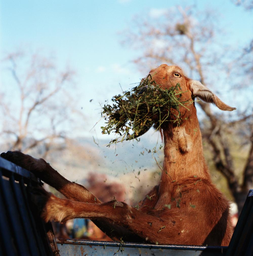 Boone_Goat eating_12.jpg