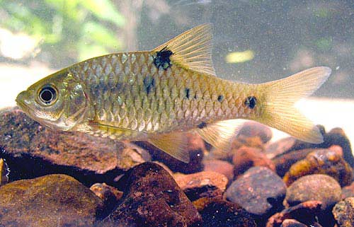 marchio barb aquarium fish