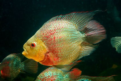 "Trimaculatus cichlid x ??? x Parrot cichlid = ""parrotfish"" Photo credit: practicalfishkeeping.co.uk"