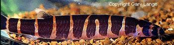 TheKuhli loach (Pangio kuhlii). Photo by the famous Gary Lange.
