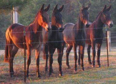 Horse x donkey cross = mule. These are yearling mules out of saddle and draft mares. Photo credit:  Deb Kidwell,  Lake Nowhere Mule and Donkey Farm  (Thanks, Deb!)