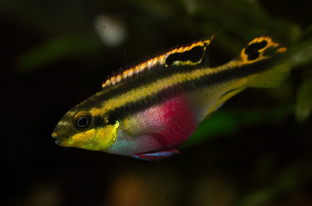 Pelvicachromis_pulcher_(female)_02.jpg