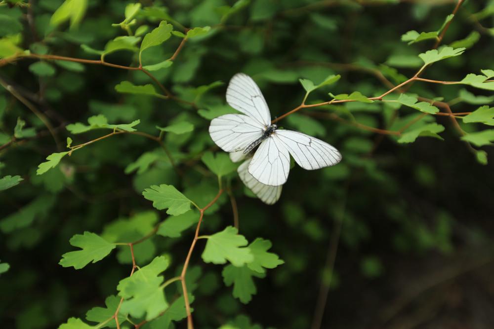 Beijing greatwall jinshanling butterflies.JPG