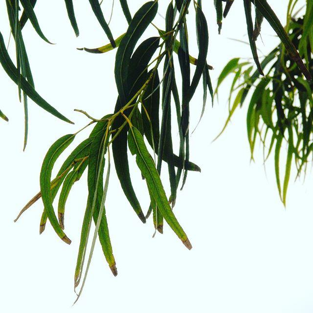 #eucalyptus, #california