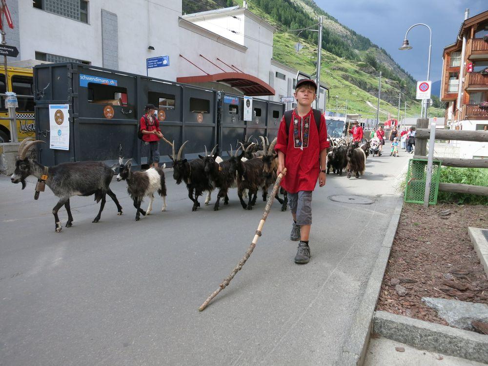 Goats in Zermatt