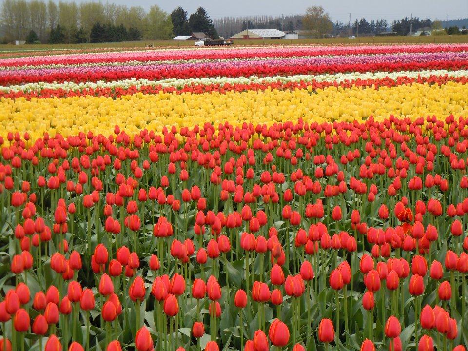 tulip-field.jpg