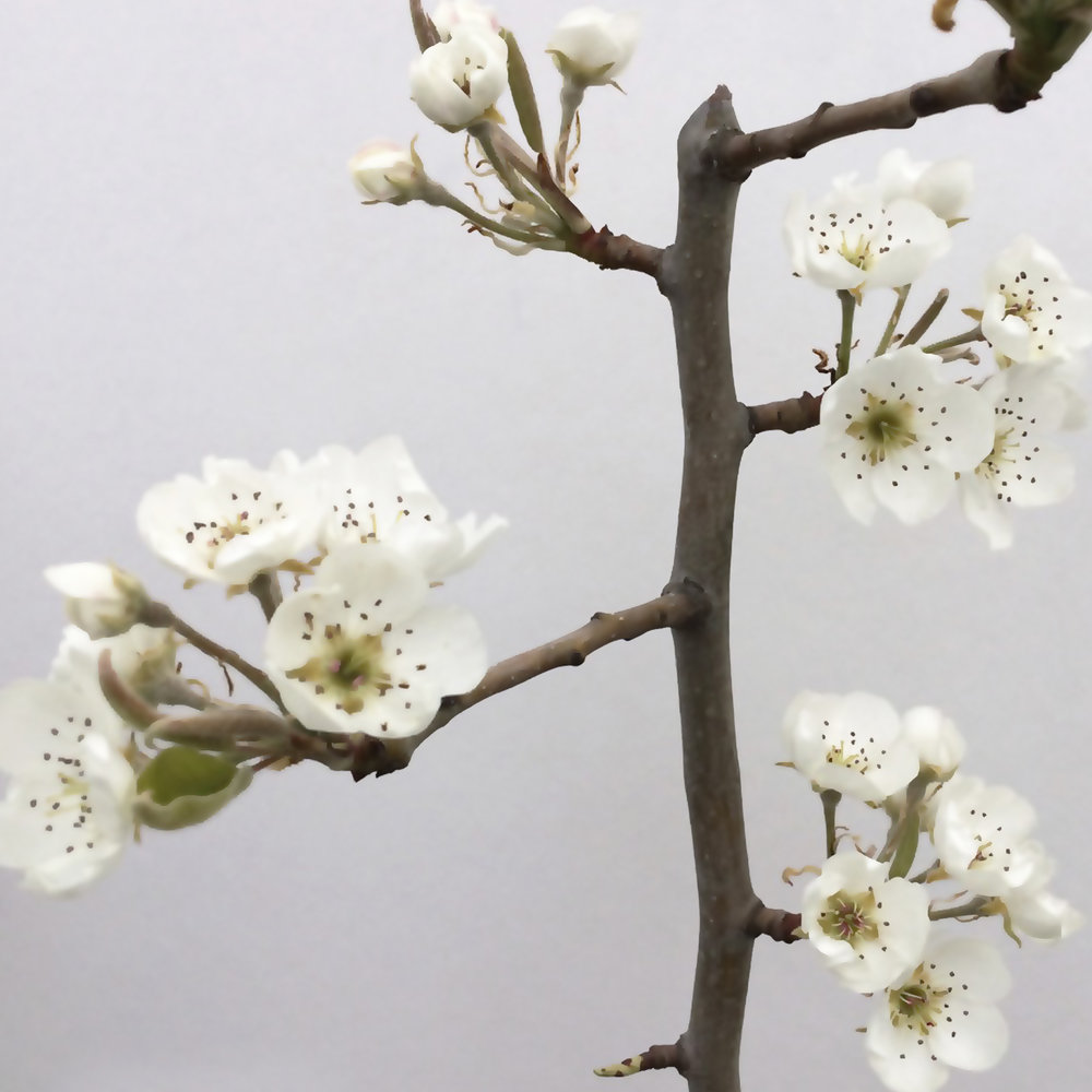 A Apple Blossoms vertical painting.jpg