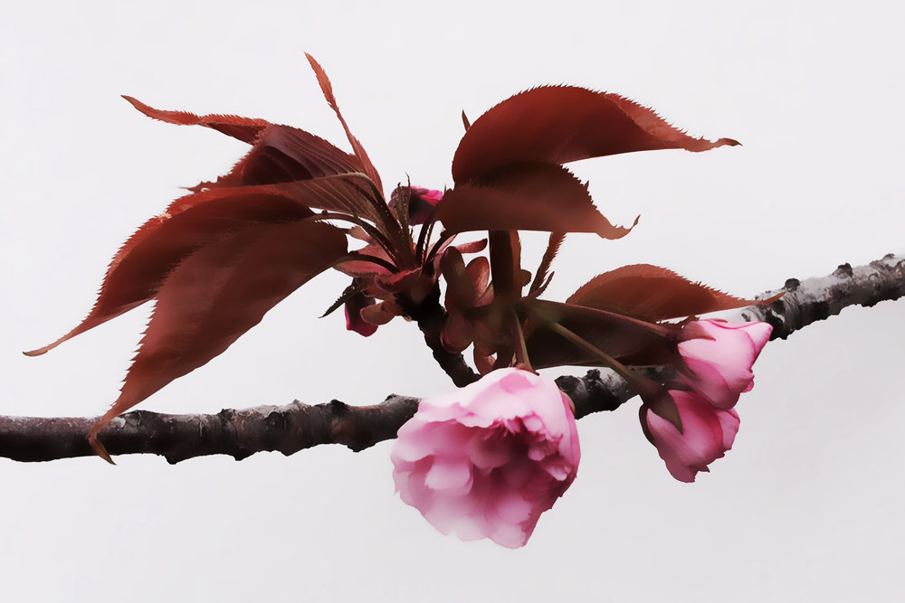 Cherry Blossoms Painting.jpg