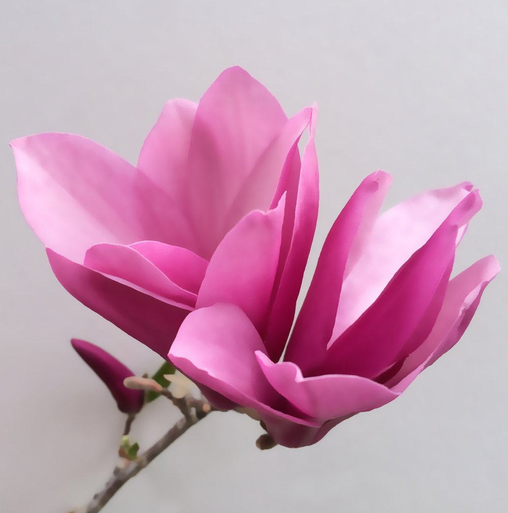 PINK Magnolia Painting.jpg