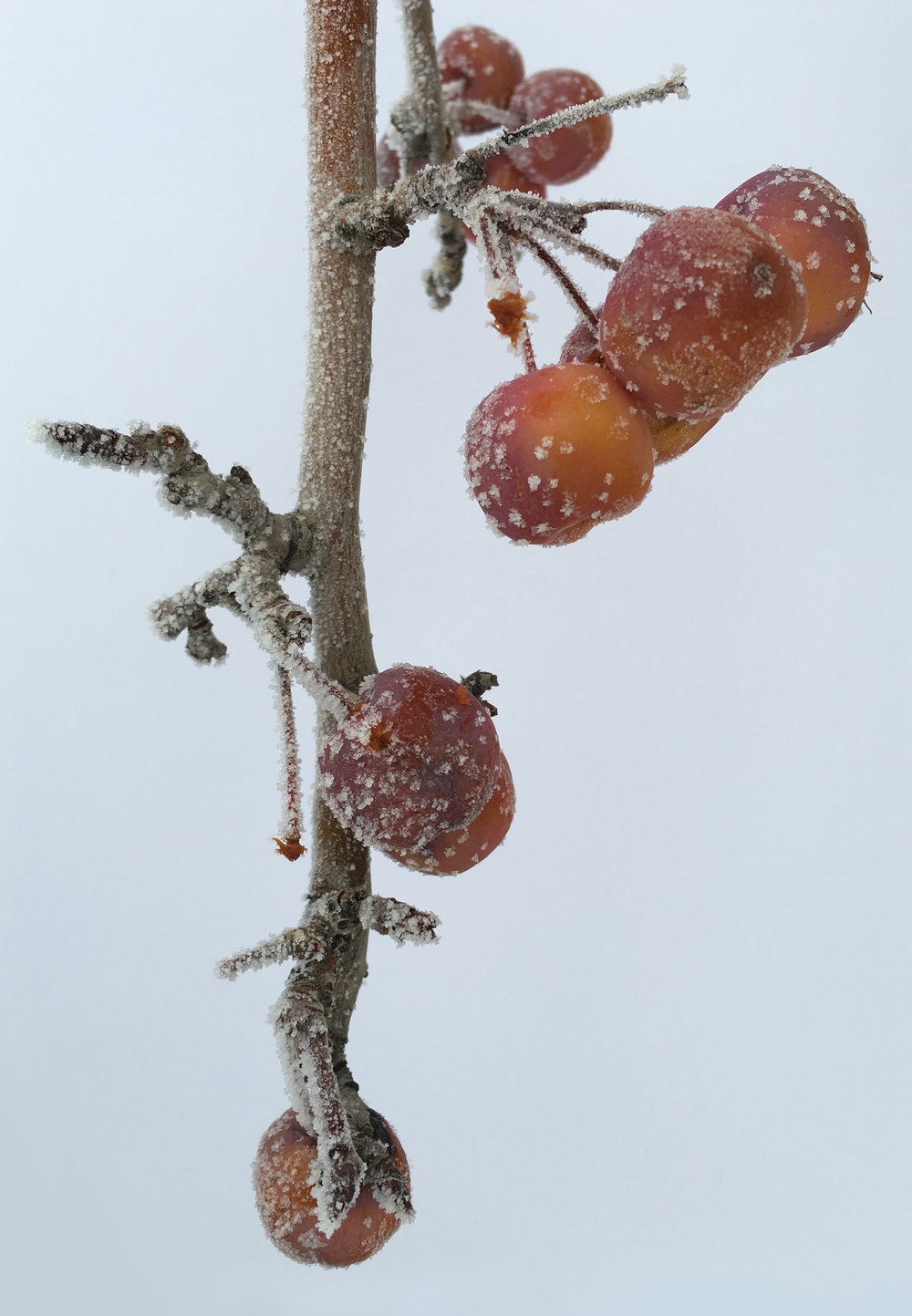 4 WINTER Frozen Crabapples copy.jpg
