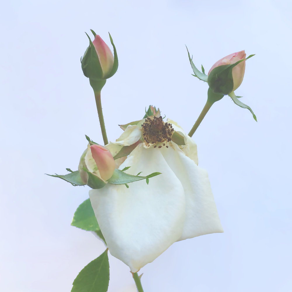2 SUMMER Wilted Rose copy.jpg