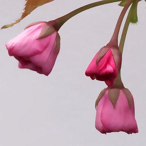 Cherry+blossom+close+up.jpg