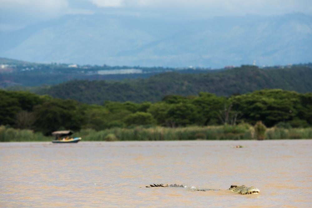 Wild crocodile swimming in Chamo Lake