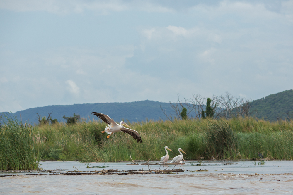 Wild pelican landing in Chame Lake