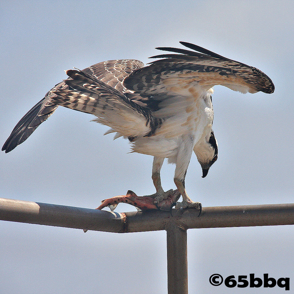 Osprey at the beach 65bbq
