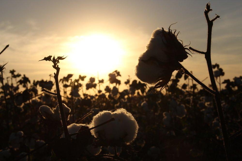 cotton-1804669_1920.jpg
