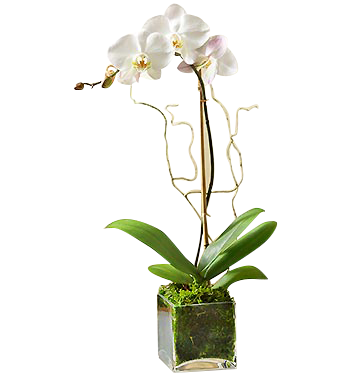 White_Phalaenopsis_Orchid_i__81367.1457810387.500.750.jpg