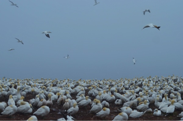 Gannet Colony: Shrieking Mass of Birds