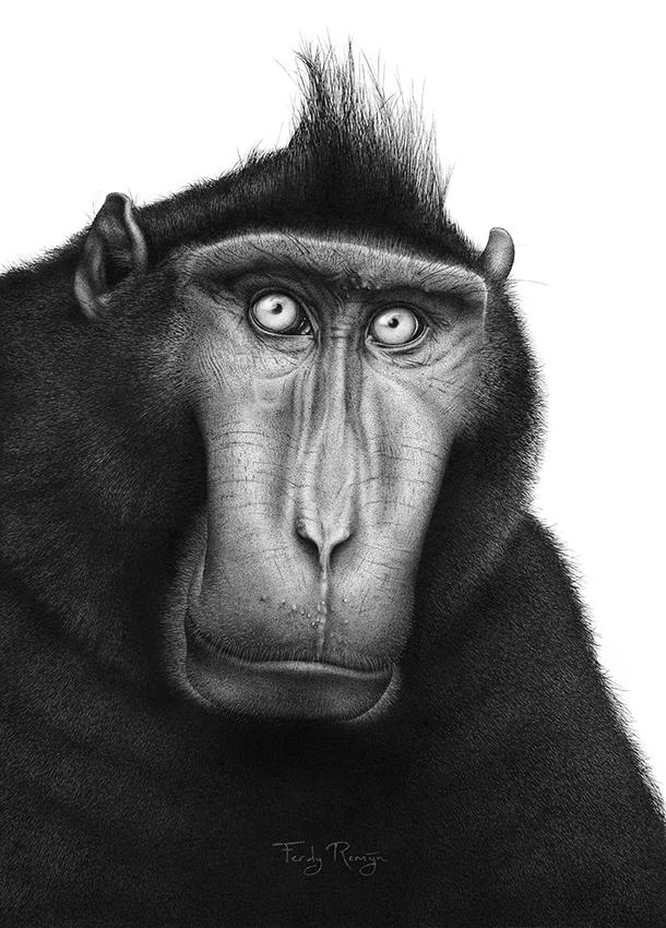 aap_kuifmakaak_crested_macaque_ferdy_remijn_1.jpg