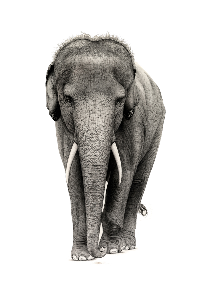 aziatische_olifant_asian_elephant_ferdy_remijn_1.jpg