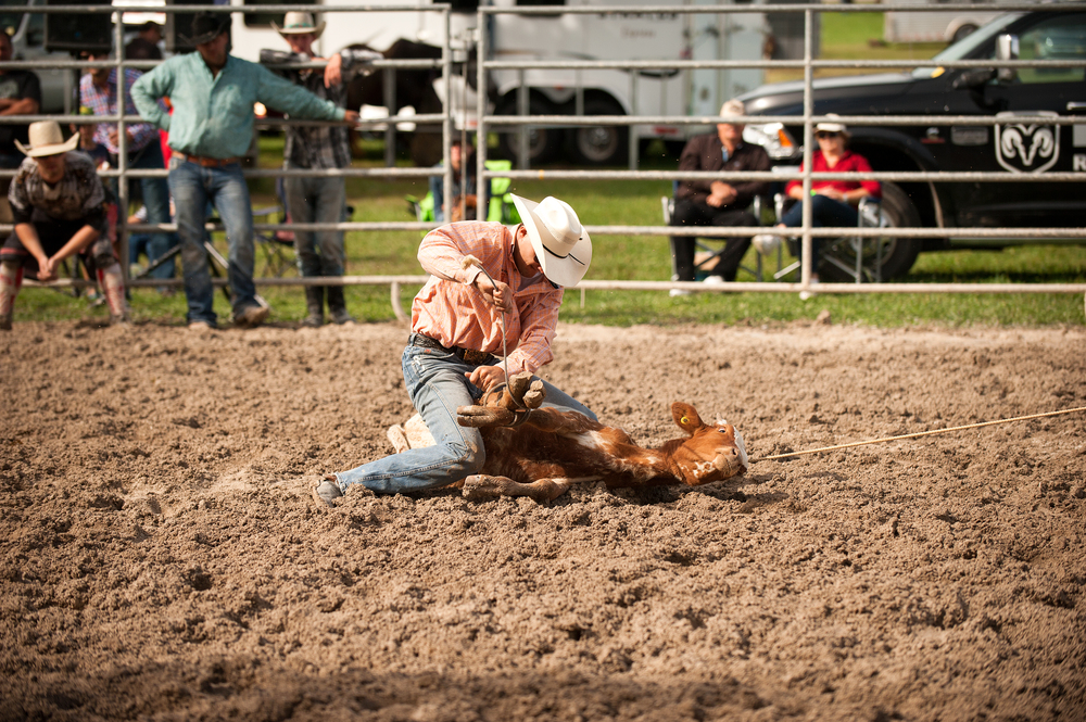 Cowboy quickly dismounts his horse and runs over to the calf, flips it over and ties up its feet