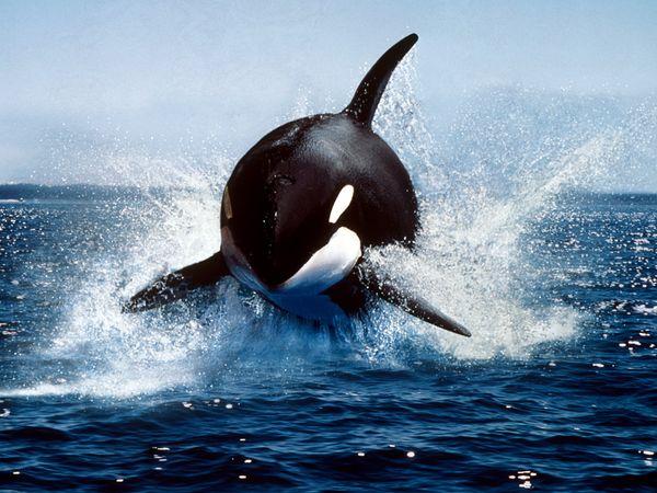 killer-whale_591_600x450.jpg