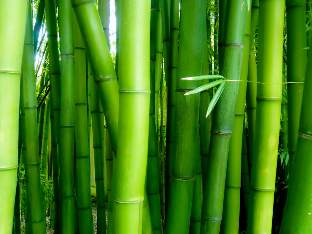 bamboo home page 1500-72?.jpg