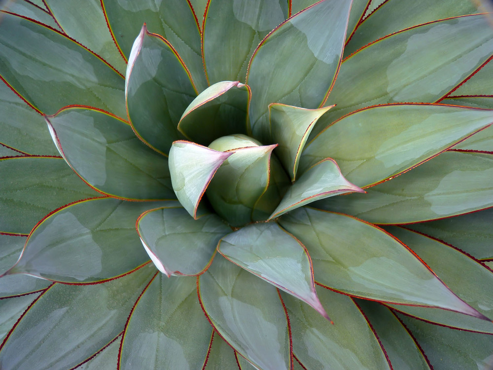 Agave Blue Glow, CA Honorable Mention