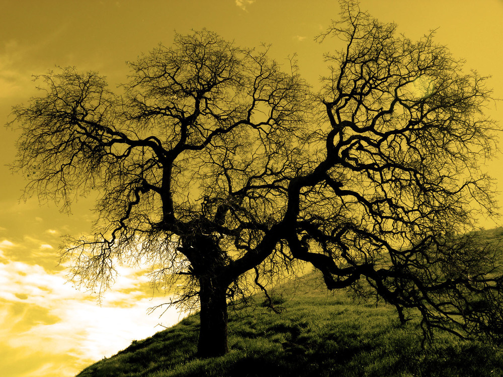 Sepia Oak Tree, CA 3rd Place