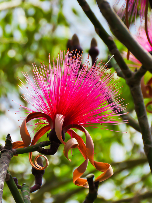 Powderpuff Tree, Mexico